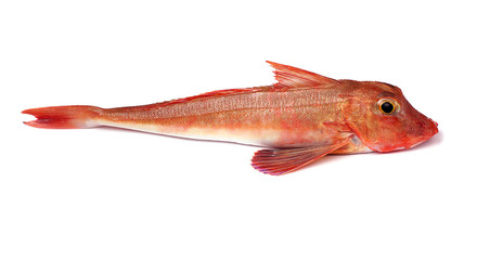 Red Gurnard Fish