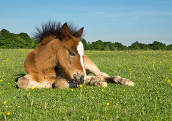 Cute Brown Pony Foal Laying on Grass in New Forest England
