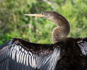 Female Anhinga Bird Drying its Outstretched Wings