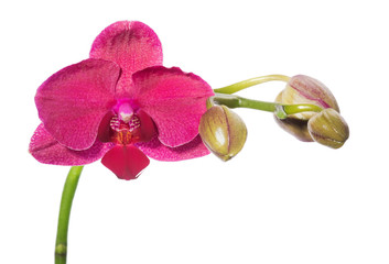 Beautiful red orchid flower on a white background