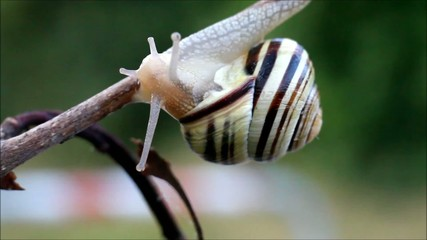 Snail Crawling on Stick Close Up