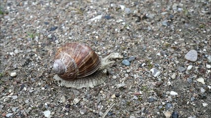 Video Clip of Burgundy Snail Helix Pomatia