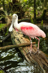 Roseate spoonbill on the branch