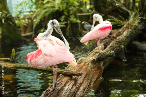 Two Roseate spoonbills on the branch cleaning feathers.