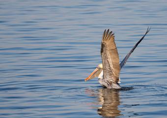 Pelican Lift Off