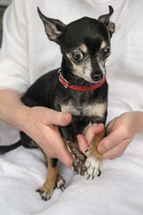 Trimming Chihuahua's Toenails or Claws