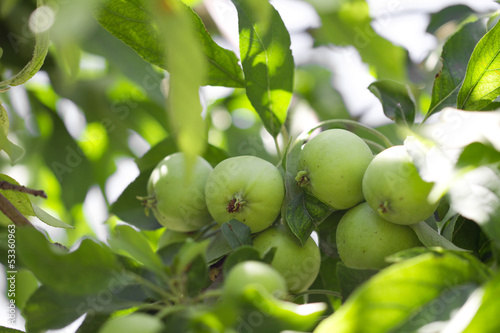 green apples on the tree in nature