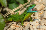 Green lizard (Lacerta bilineata)