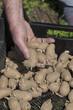 Mann beim Kartoffelkeimlinge aussäen