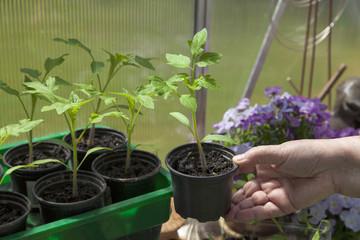 Tomatenpflanzen im eigenen Gewächshaus