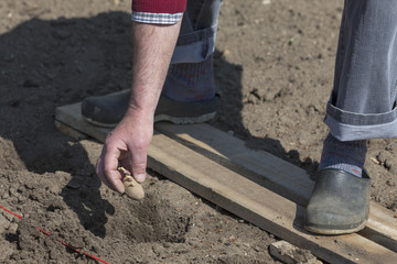 Mann (Rentner) bei der Gartenarbeit beim Kartoffeln pflanzen