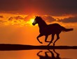 canvas print picture - Horse running during sunset with water reflection