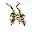 Little baby crocodiles