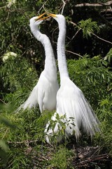 Great Egrets (Ardea alba)