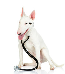 bullterrier dog with a stethoscope on his neck. isolated