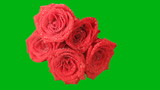 Bouquet of red roses on a green background