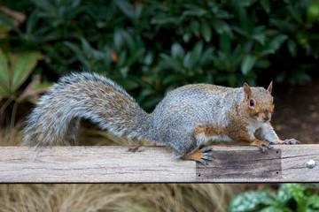 Cute Squirrel on a Wooden Board