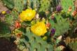 Blooming Cactuses Cactaceae Opuntia