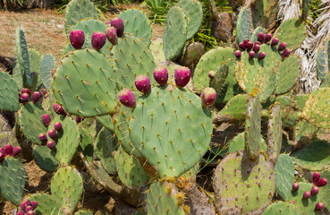 Cactuses Cactaceae Opuntia with fruits