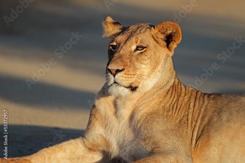 Resting lioness, Kalahari desert