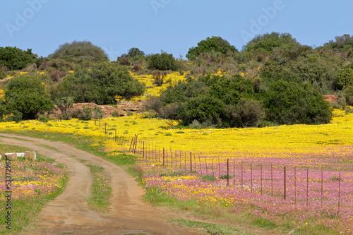 Wild flower landscape, Namaqualand
