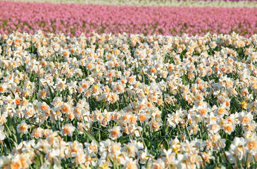 many daffodils on spring field