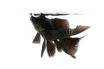 Black Goldfish isolated on white background with waterline