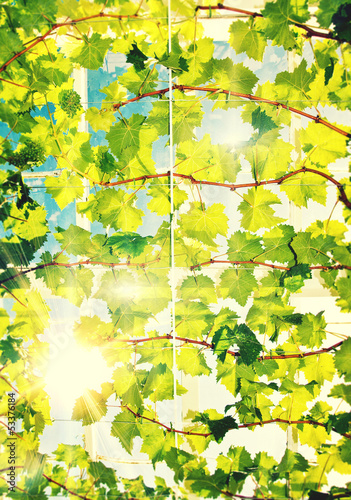 sunshine vines