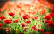 Poppy flower in the meadow