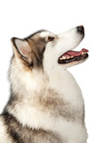Alaskan malamute dog isolated on white