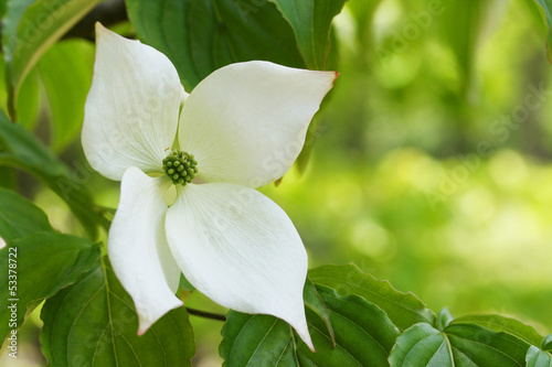 Japanese Flowering Dogwood - ヤマボウシ