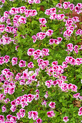 Background of Pelargonium