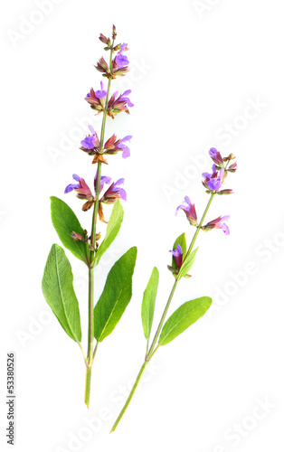 The Common Sage (Salvia officinalis).
