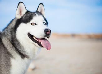 husky at beach on sunny day