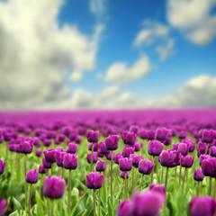 fototapeta przepiękne tulipany
