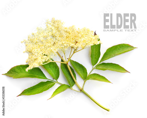 The Elder or Elderberry (Sambucus nigra).