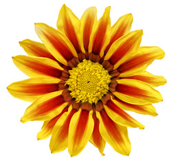Single flower of tiger Gazania. (Splendens genus asteraceae).Iso