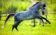 Obrazy na płótnie, fototapety, zdjęcia, fotoobrazy drukowane : Gray horse running in field in spring.