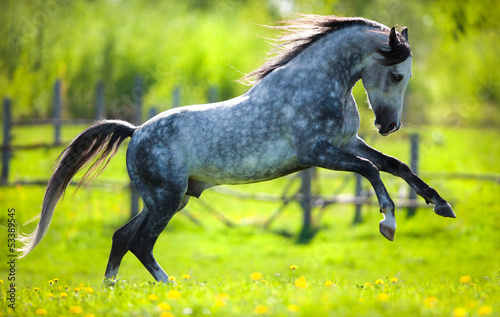 Gray horse running in field in spring.