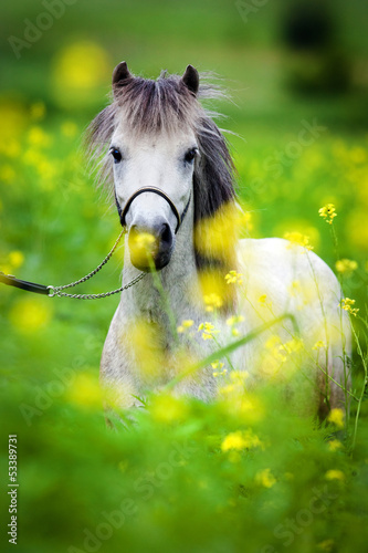 Portrait of Shetland pony on green background.