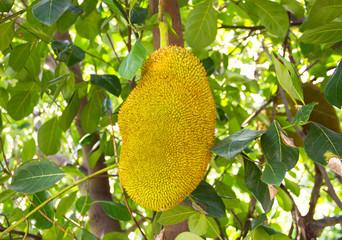 The jackfruit