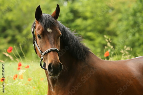 Foto op Plexiglas Paardrijden Vollblut vor Mohn