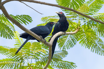 Couple of male Common Koel(Asian Koel) bird