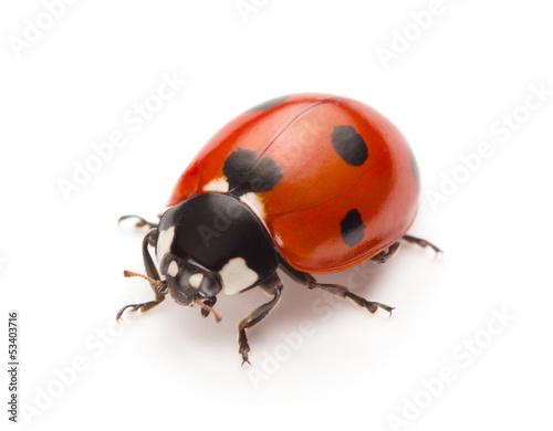 Leinwandbild Motiv Ladybug