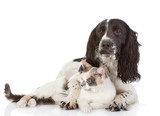 English Cocker Spaniel dog and cat lie together.  - 53407192