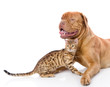 Dogue de Bordeaux (French mastiff) and Bengal cat