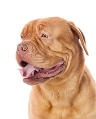 Dogue de Bordeaux in profile. isolated on white background