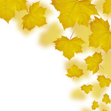 Fall of yellow maple leaves