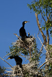 cormorants at nest
