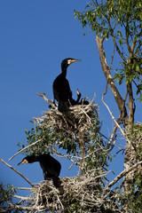 cormorants at nest